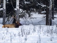 Majestic elk sits in the snow in an open snowy meadow along the Bow Valley Parkway in Baff National Park Alberta Canada